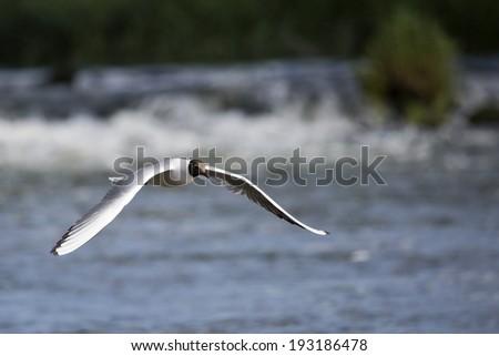 Black-headed Gull (Chroicocephalus ridibundus) in flight by a River - stock photo