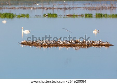 Black-headed Gull colony on a small island in the lake - stock photo