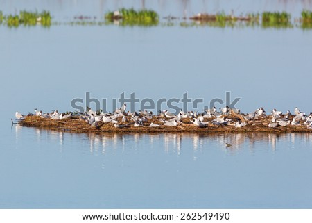 Black-headed Gull colony on a small island in the water - stock photo