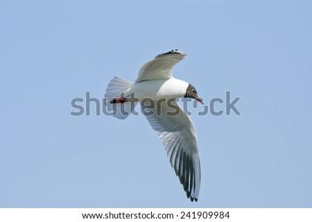 Black-headed Gull flying in the blue sky. Chroicocephalus ridibundus in the air.  - stock photo