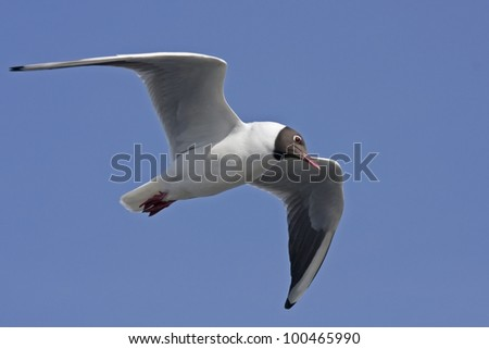 Black-headed gull flying on the blue sky