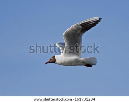 Black-headed gull flying on the blue sky - stock photo