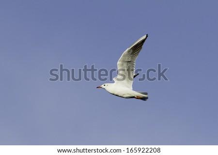 Black-headed Gull in flight / Larus ( Chroicocephalus) ridibundus  - stock photo