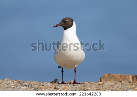 Black Headed Gull in full Summer plumage - stock photo
