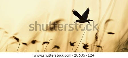 Black-headed Gull (Larus ridibundus) and starling silhoettes flying on sunset natural background - stock photo