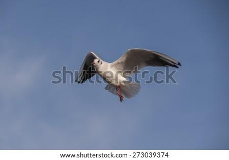 Black headed Gull (Larus ridibundus) in flight - stock photo