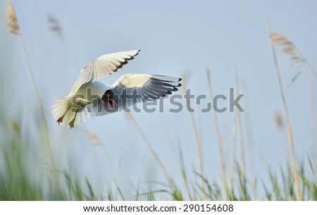 Black-headed Gull (Larus ridibundus) in flight on the natural background. Front - stock photo