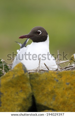 Black-headed gull, Larus ridibundus, single bird on nest, Northumberland, May 2014