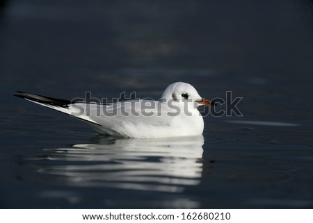 Black-headed gull, Larus ridibundus, single bird on water, West Midlands, winter