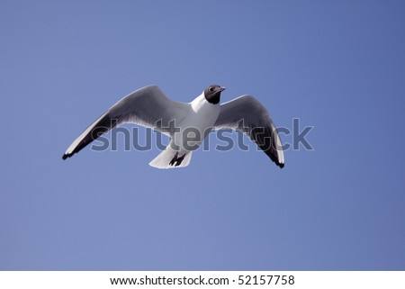 Black-headed gull of a summer feather