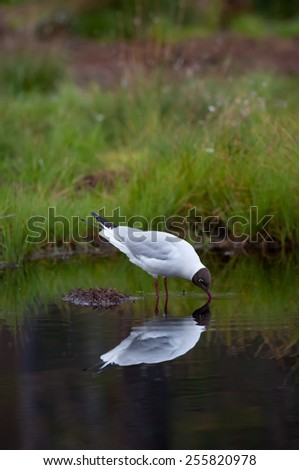 black-headed gull searching food in water - stock photo