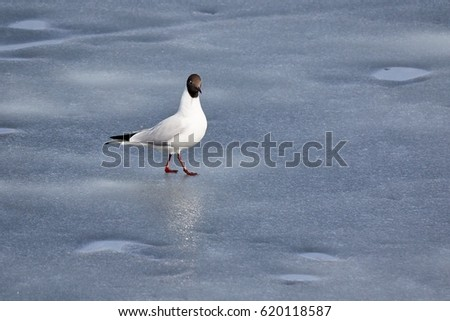 Black-headed gull standing on the ice of frozen lake in early spring