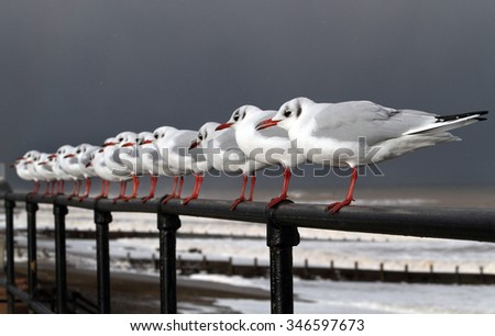 Black headed gulls in high wind and rough seas.