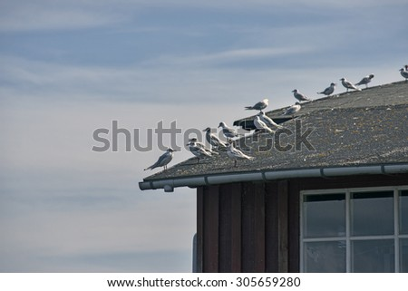 Black headed gulls sitting on a roof - stock photo