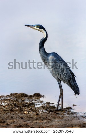 Black-headed Heron (Ardea melanocephala) on the shores of Lake Masek, Tanzania