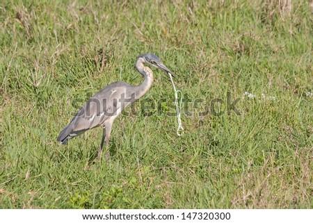 Black-headed Heron (Ardea melanocephala) swallows up green snake catch in grass. Ngorongoro Crater, Tanzania, East Africa.   - stock photo