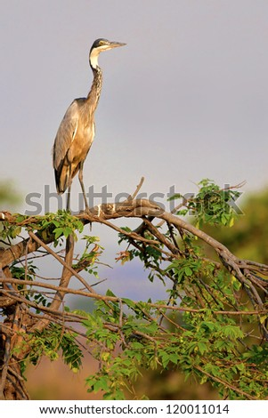Black-Headed Heron standing on a branch in the savannah - stock photo
