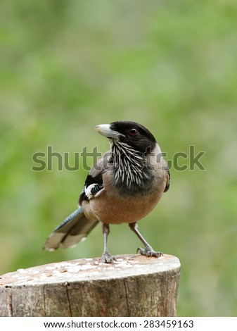 Black headed Jay on wooden log