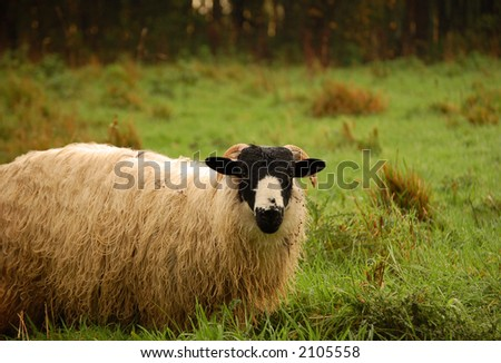 Black headed sheep in pasture - stock photo