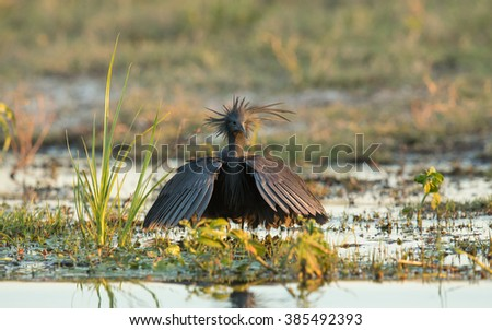 Black Heron displaying the umbrella in Chobe River in Botswana