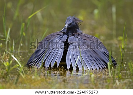 Black heron wading in shallow water with open wings; Egretta ardesiaca