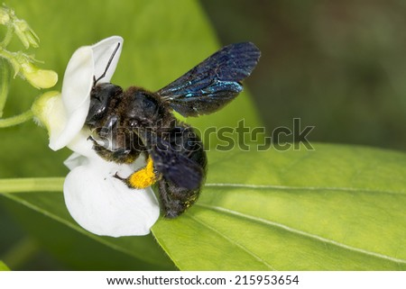 black hornet bee while sucking pollen from red flower - stock photo