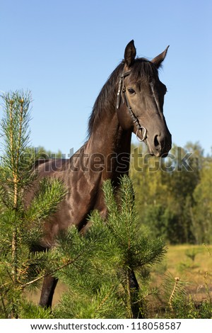black horse against a blue sky and pines in the foreground