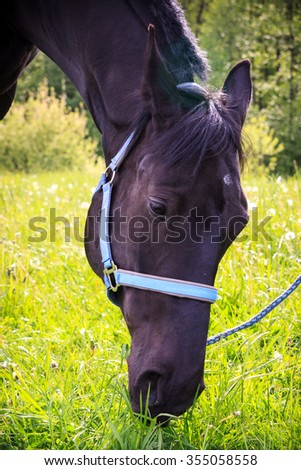 Black horse eating grass after sport training - stock photo