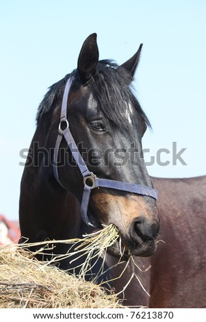 Black horse eating hay - stock photo