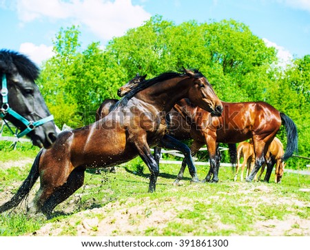 Black horse gallop in a splash of water. Jumping horse on a meadow. - stock photo