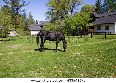 Black horse grazing in the meadow.