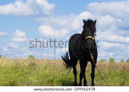 black horse grazing in the meadow and eat grass