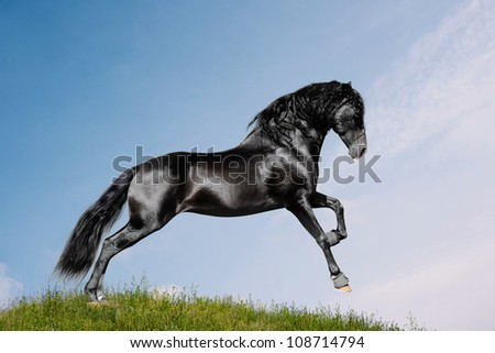black horse in a field - stock photo