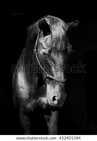 black horse in halter of rope on a dark background