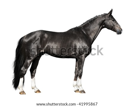 black horse isolated on the white background