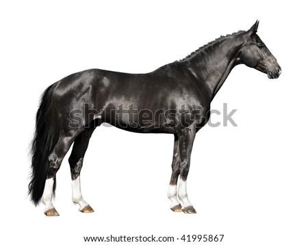 black horse isolated on the white background - stock photo