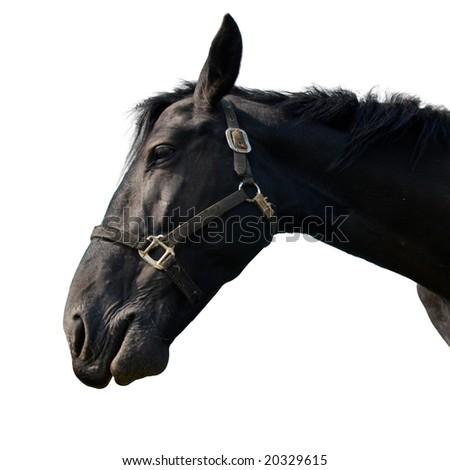 Black horse isolated on white. - stock photo