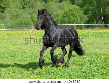 Black horse making a gallop in ranch
