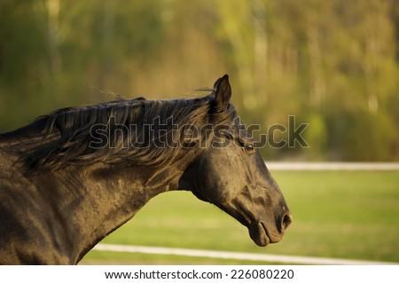 black horse portrait in action - stock photo