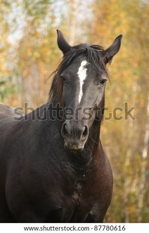 Black horse portrait in autumn - stock photo