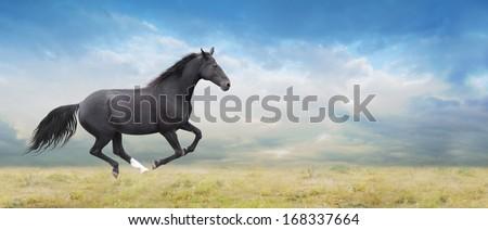 Black horse runs full gallop on field - stock photo