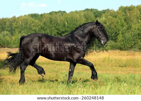 Black horse trotting on a stud farm meadow against woods