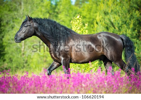 Black horse walking on the beautiful meadow with pink flowers - stock photo