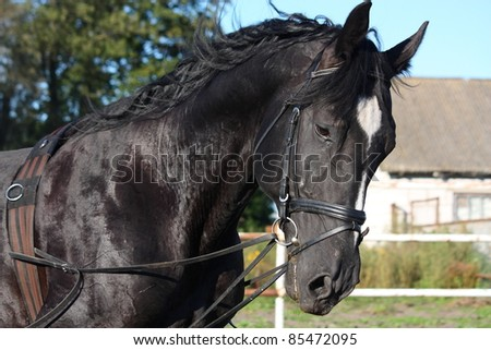 Black horse with bridle portrait