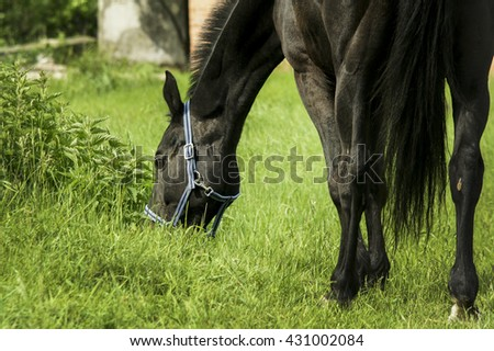 black horse with short mane and in blue halter eats green grass