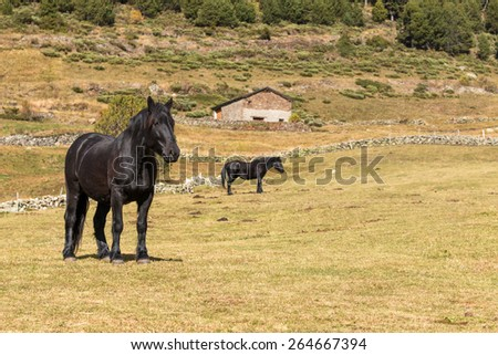 Black horses on the pasture - stock photo