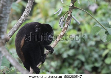 Black Howler Monkey with young