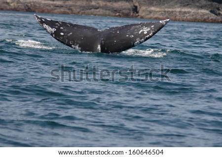 black humpback whale tale in the sea - stock photo