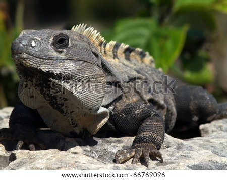 Black Iguana, CTENOSAURA SIMILIS as seen on the coast in the ruins at Tulum,   This one was feeding on local tree leaves - stock photo