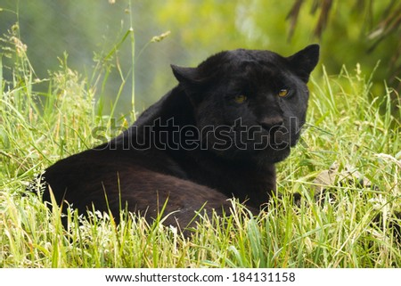 Black Jaguar laying down in the grass - stock photo